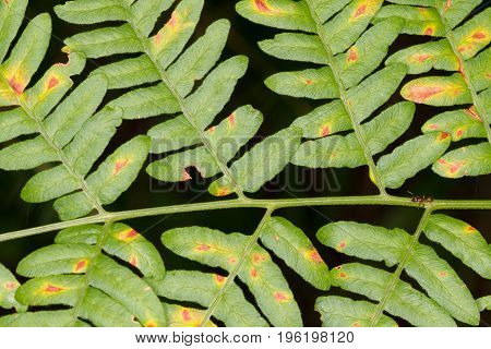 Eagle fern(Pteridium aquilinum) leaf closeup in summer with dark background, Bialowieza Forest, Poland