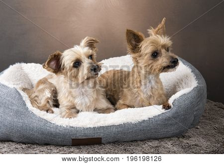 Two beautiful Yorkshire terriers laying in their basket, with a brown background