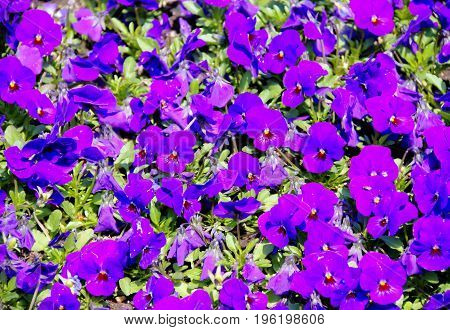 Purple flowers in sunlight with green foliage in the background.