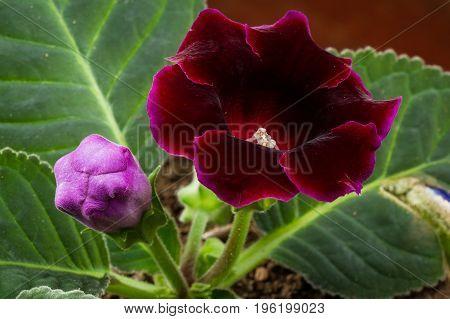 Beautiful Deep Violet Bloom