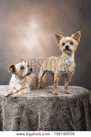 Two beautiful Yorkshire terriers with a brown, golden background