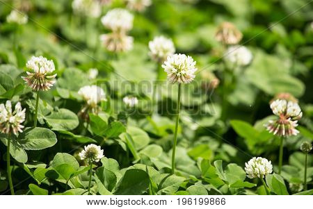 White flowers on a clover in a park in nature