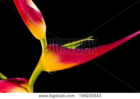 Expanded Lobster Claw - Heliconia Latispatha