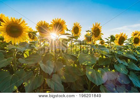 Sunset visible thru sunflowers on field. Sun on blue clean sky with nice sunbeams.