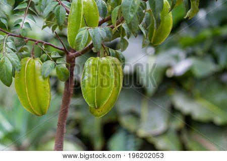 Fresh Carambolas On A  Small Tree