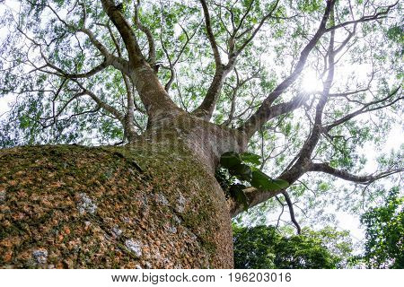 Guanacaste Tree, National Tree Of Costa Rica