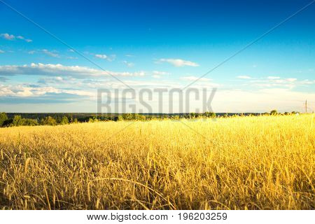 Rye field on sunset against blue sky. Agricultural background with ripe spikelets of rye.