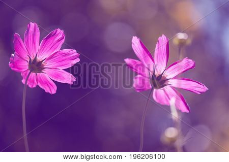 Pink flowers in the sunlight. Soft artistic image.
