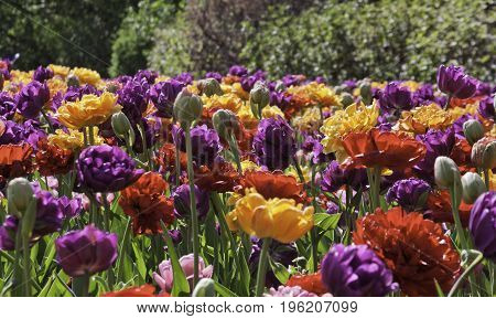 Wide view of a small field of vibrant yellow red and purple tulips in bloom with a greenery background on a bright sunny day in May at the International Tulip Festival in Ottawa, Ontario. poster