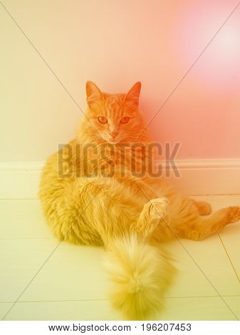 Close Up Photo Of Red Cat With Green Eyes Looking Straight Towards Camera.