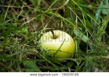 Green apples on a grass in a garden, young fruits, natural products