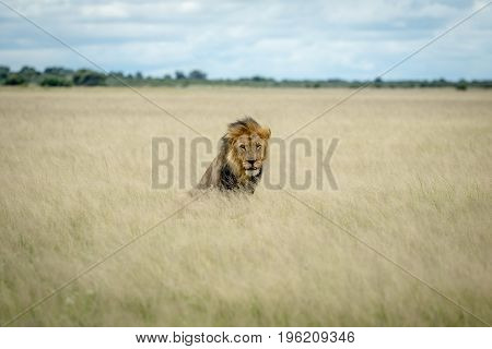 Big Male Lion Sitting In The High Grass.