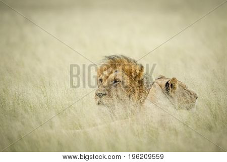Lion Mating Couple Laying In The Grass.