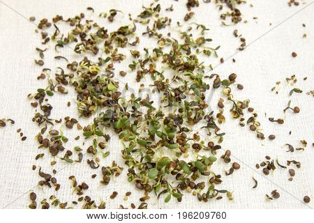 Alfalfa Sprouts From Seeds
