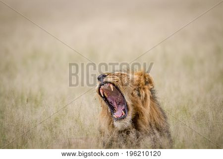 Big Male Lion Yawning In The Grass.
