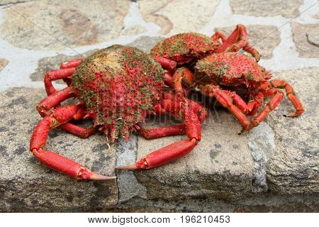 Cooked spider crabs fished in Brittany on pavement