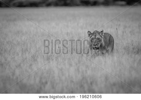 Lion Walking Towards The Camera.