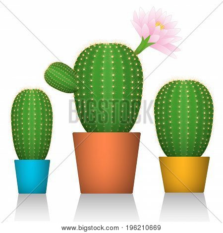 Cactuses in pots. Three plants in colorful packaging. White background. Vector illustration