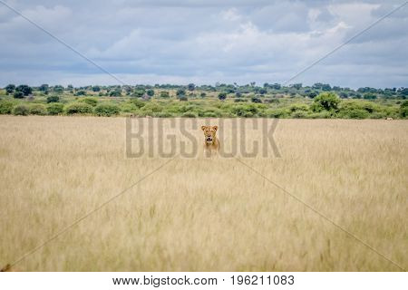 Lion Head Sticking Out Of The High Grass.