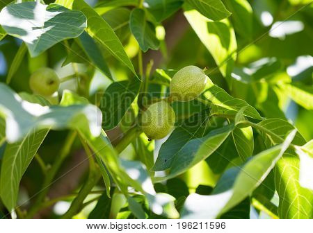 Green walnuts on a tree in the nature .
