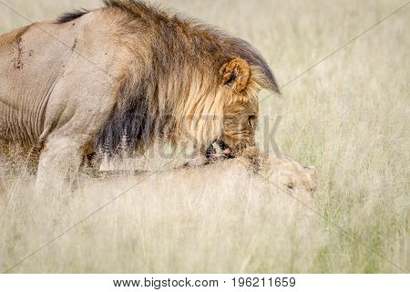 Male Lion Biting Female While Mating.