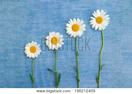 Four chamomiles on a blue jeans background
