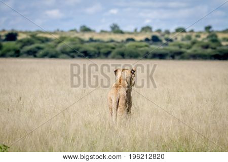 Lion Standing In The High Grass From Behind.