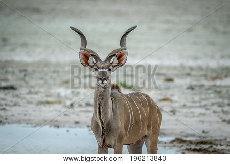 Male Kudu Starring At The Camera.