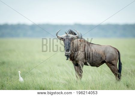 Blue Wildebeest And Cattle Egret In Grass.