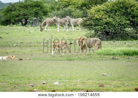 Mating Couple Of Lions Walking In The Grass.