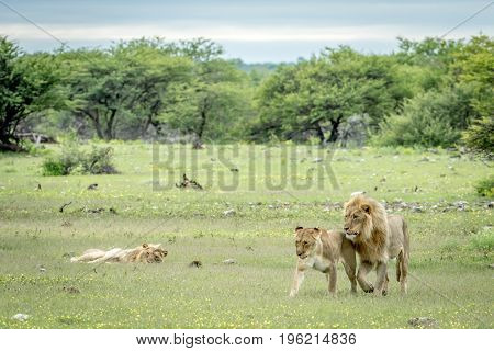 Lion Mating Couple Walking In The Grass.