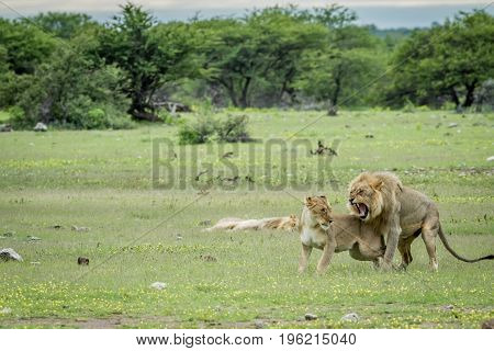 Lions Mating In The Grass In Etosha.