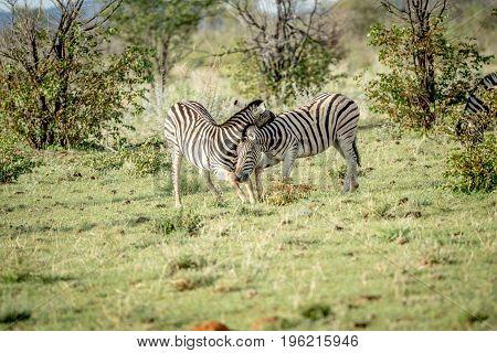 Two Zebras Bonding In The Grass.