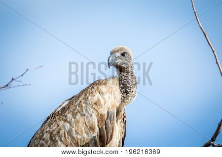 Close Up Of A White-backed Vulture.