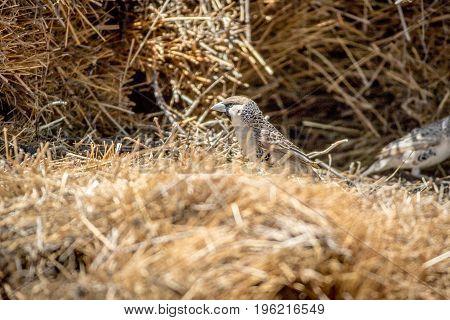 Sociable Weaver Sitting In His Nest.