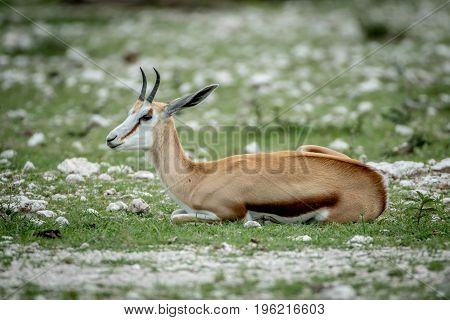 Springbok Laying In The Grass In Etosha.