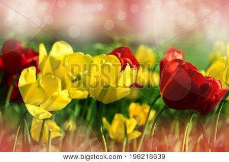 Amazing colorful tulip flower, yellow and red. flowers, flowers concept, natural flowers, viola flowers, flowers of the spring, white and yellow flowers with blurry background, spring flower, flowers in the vase, different flowers,