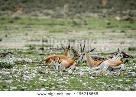 Group Of Springboks Laying In The Grass.