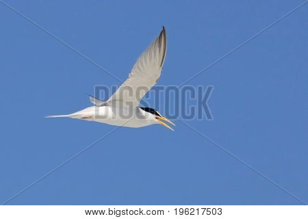 An endangered least tern flying on a summer day
