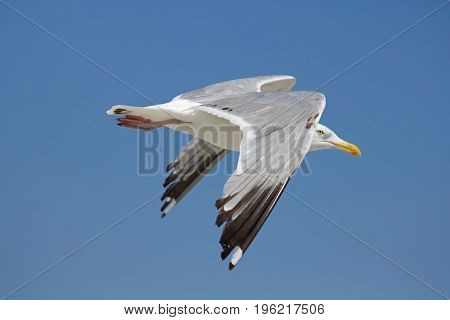 A seagull soars in a blue summer sky.