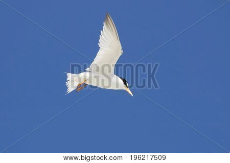 An endangered Least Tern in flight at the beach on a summer day.