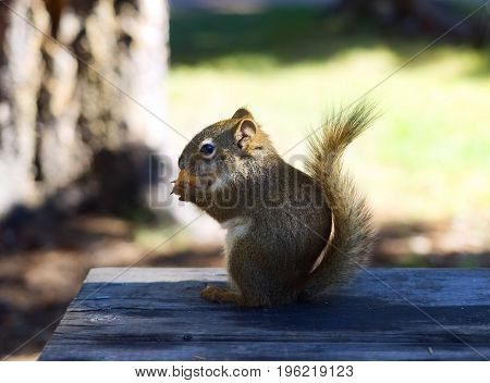 Close Up of Squirrel Sitting on Wooden Table at Campground