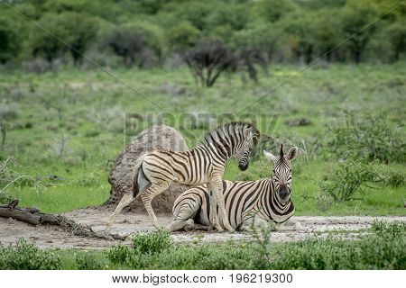Mother And Baby Zebra In The Grass.
