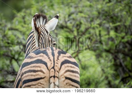 Zebra Photographed From Behind In Etosha.