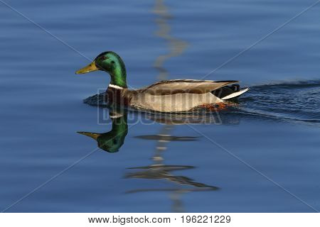 Male mallard or wild duck, anas platyrhynchos, floating on the water