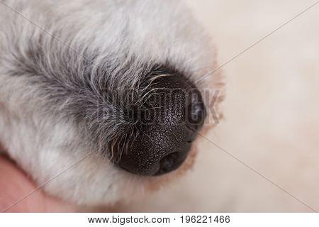 Wet black dog nose close-up. Healthy wet dog nose