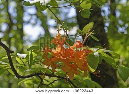 Flame Azalea in the The Spring in the Mountains of the Blue Ridge Parkway in North Carolina