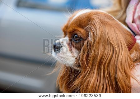 Cavalier King Charles Spaniel portrait close-up  with chestnut brown markings on white background outdoor shot