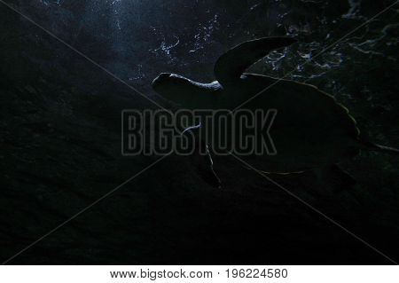 Green Sea Turtle Swim Underwater In Night Dark