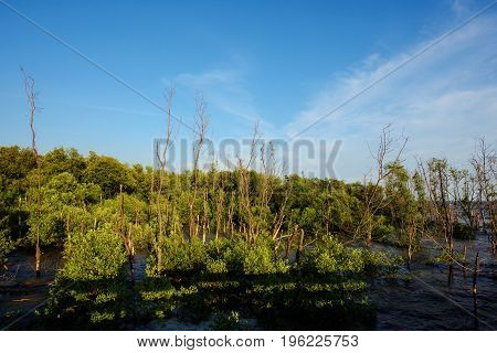 Mangrove Swamp Forest against blue sky Samuth Prakan Thailand